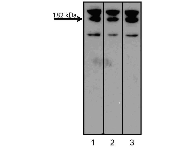Western Blotting (WB) image for anti-Myeloid/lymphoid Or Mixed-Lineage Leukemia (Trithorax Homolog, Drosophila), Translocated To, 4 (MLLT4) (AA 1091-1233) antibody (ABIN968143)