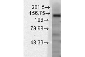 Image no. 1 for anti-Potassium Channel, Subfamily T, Member 1 (KCNT1) (AA 1168-1237) antibody (Atto 594) (ABIN2482920)
