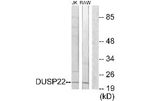 Image no. 1 for anti-Dual Specificity Phosphatase 22 (DUSP22) antibody (ABIN1576136)