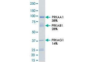 Image no. 2 for Protein Kinase, AMP-Activated, alpha 1 Catalytic Subunit (PRKAA1) (AA 1-550) protein (His-GST) (ABIN5569695)