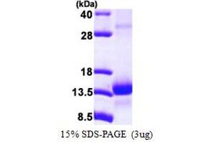 Image no. 1 for Transcription Elongation Factor B (SIII), Polypeptide 1 (15kDa, Elongin C) (TCEB1) (AA 1-112) protein (His tag) (ABIN667648)