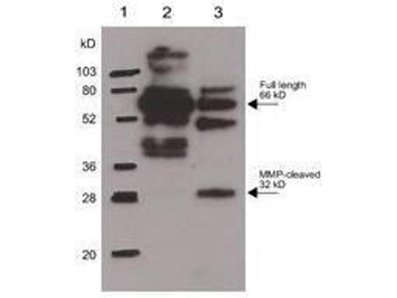 Image no. 2 for anti-Secreted phosphoprotein 1 (SPP1) antibody (ABIN1043686)
