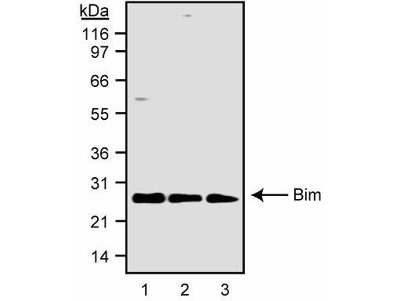 Western Blotting (WB) image for anti-BIM antibody (BCL2-Like 11 (Apoptosis Facilitator)) (AA 22-40) (ABIN967649)