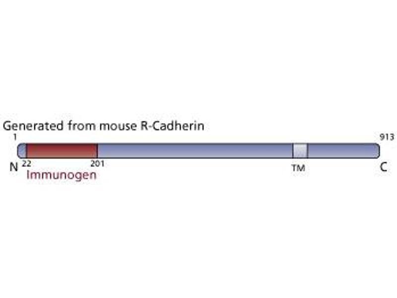 image for anti-Cadherin 4 (CDH4) (AA 22-201) antibody (ABIN967954)