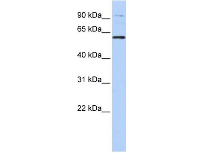 Western Blotting (WB) image for anti-Tubby Like Protein 2 (TULP2) (N-Term) antibody (ABIN405150)