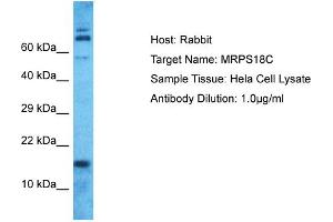Image no. 1 for anti-Mitochondrial Ribosomal Protein S18C (MRPS18C) (N-Term) antibody (ABIN2774558)