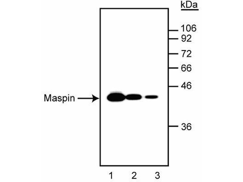 Western Blotting (WB) image for anti-SERPINB5 antibody (serpin Peptidase Inhibitor, Clade B (Ovalbumin), Member 5) (ABIN967456)