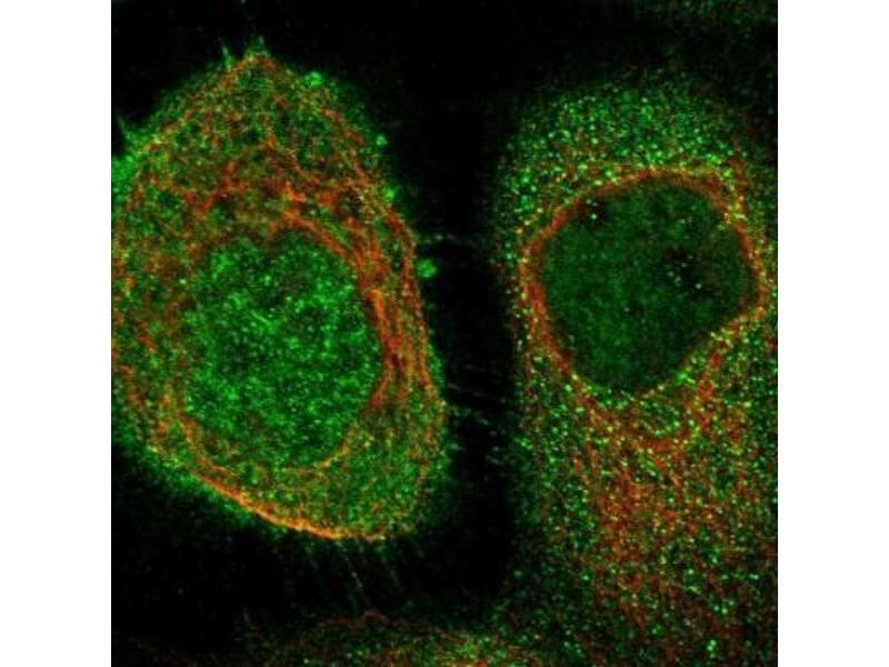 Immunofluorescence (IF) image for anti-CASP8 and FADD-Like Apoptosis Regulator (CFLAR) antibody (ABIN4312114)