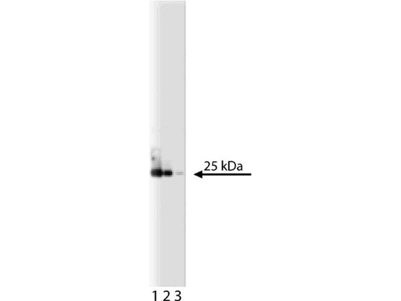 Western Blotting (WB) image for anti-EIF4E antibody (Eukaryotic Translation Initiation Factor 4E) (AA 1-217) (ABIN967870)