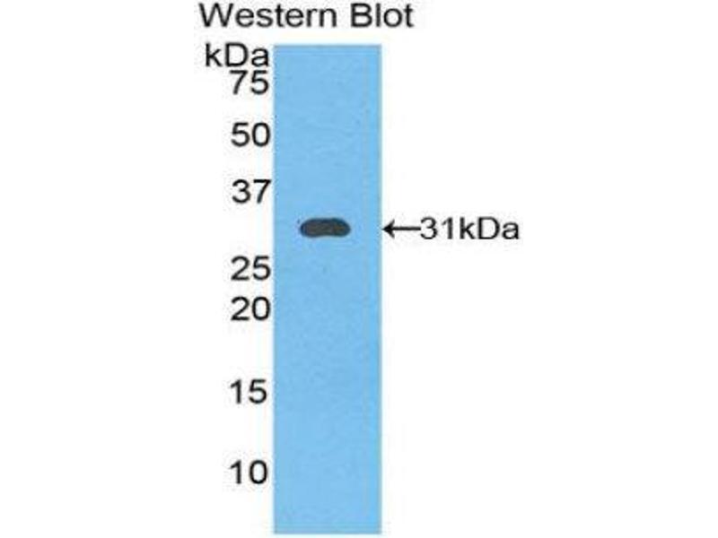 Western Blotting (WB) image for anti-Kallikrein 11 (KLK11) (AA 39-282) antibody (ABIN1859549)