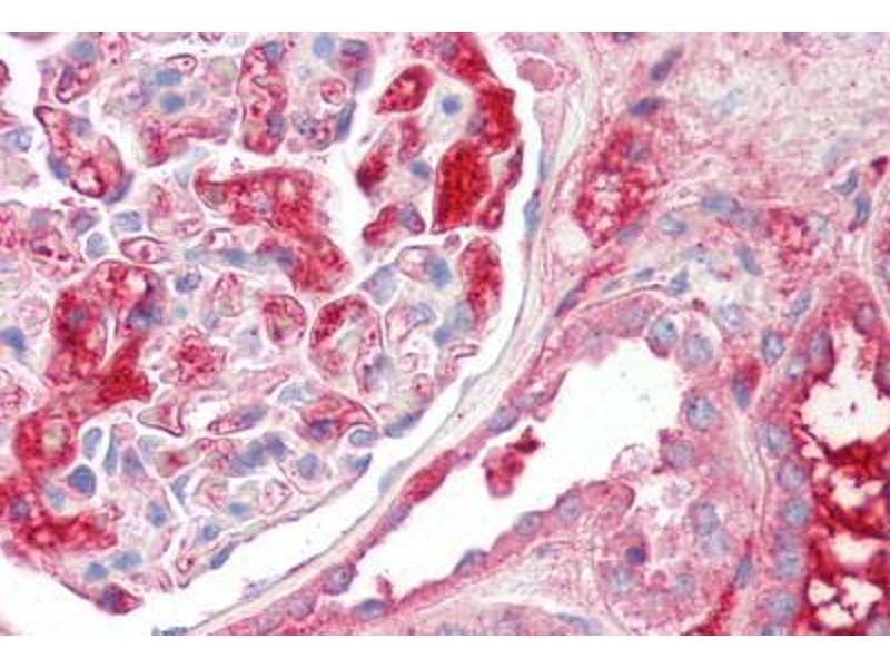 image for anti-Kininogen 1 (KNG1) (AA 251-300) antibody (ABIN1493884)
