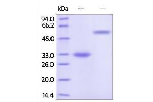 SDS-PAGE (SDS) image for HEK-293 Cells Immunoglobulin G4 (IgG4) isotype control (ABIN2181283)
