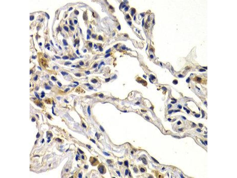 Immunohistochemistry (IHC) image for anti-WNT3A antibody (Wingless-Type MMTV Integration Site Family, Member 3A) (ABIN1875351)