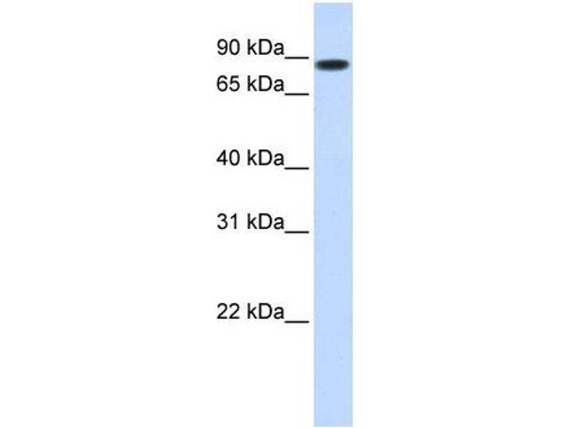 Western Blotting (WB) image for anti-STAT5B antibody (Signal Transducer and Activator of Transcription 5B) (N-Term) (ABIN2780884)