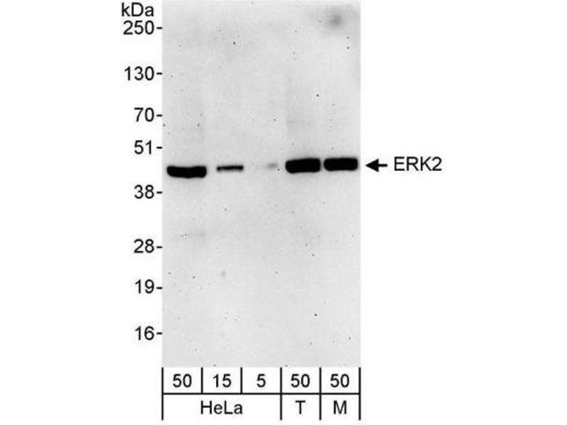 Western Blotting (WB) image for anti-ERK2 antibody (Mitogen-Activated Protein Kinase 1) (AA 310-360) (ABIN438932)