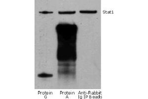 Image no. 1 for Rabbit TrueBlot® Anti-Rabbit IgG HRP  (ABIN1589974)