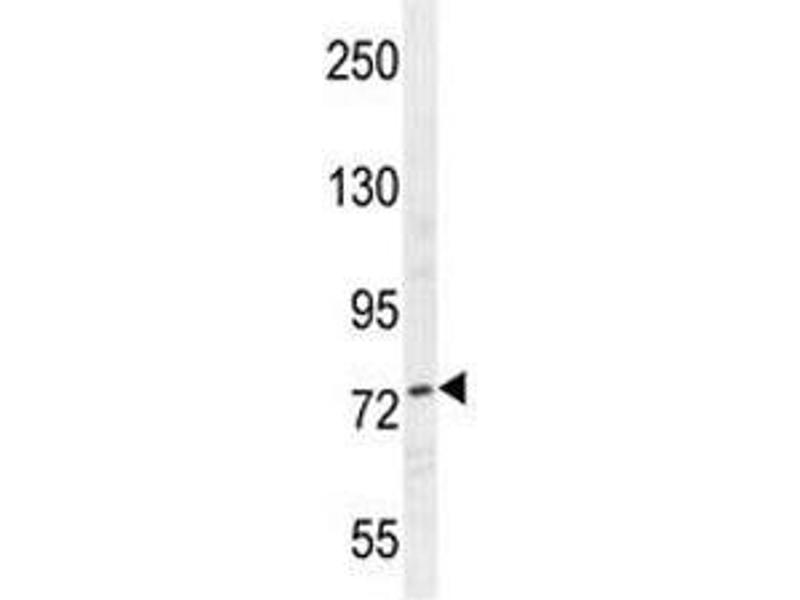Western Blotting (WB) image for anti-Nucleolin (NCL) antibody (ABIN3032071)