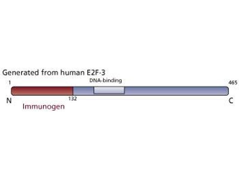 image for anti-E2F3 antibody (ABIN967549)
