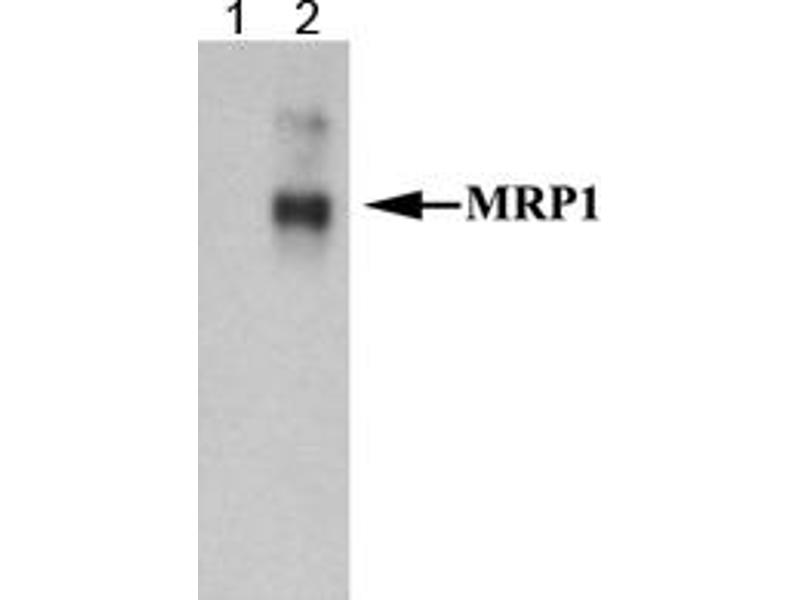 Western Blotting (WB) image for anti-Macrophage Inflammatory Protein Related Protein 1 (MRP1) (AA 1-33), (N-Term) antibody (ABIN189465)