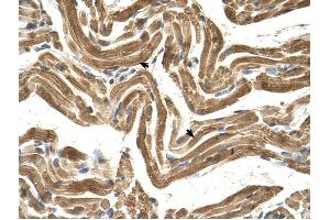 Image no. 2 for anti-FIC Domain Containing (FICD) (C-Term) antibody (ABIN634275)