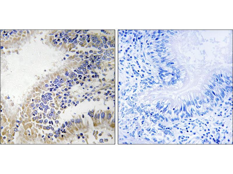 Image no. 1 for anti-DHOdehase (Internal Region) antibody (ABIN1576068)