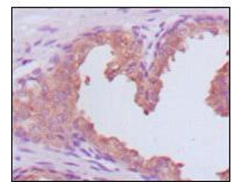 Immunohistochemistry (IHC) image for anti-Prostate Specific Antigen antibody (PSA) (AA 26-251) (ABIN969369)