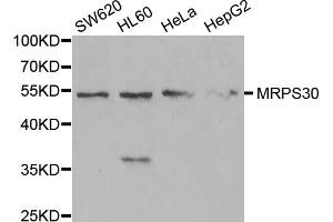 Image no. 5 for anti-Mitochondrial Ribosomal Protein S30 (MRPS30) antibody (ABIN6570152)