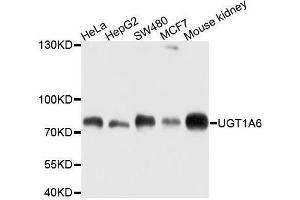 Image no. 1 for anti-UDP Glucuronosyltransferase 1 Family, Polypeptide A6 (UGT1A6) antibody (ABIN6149899)