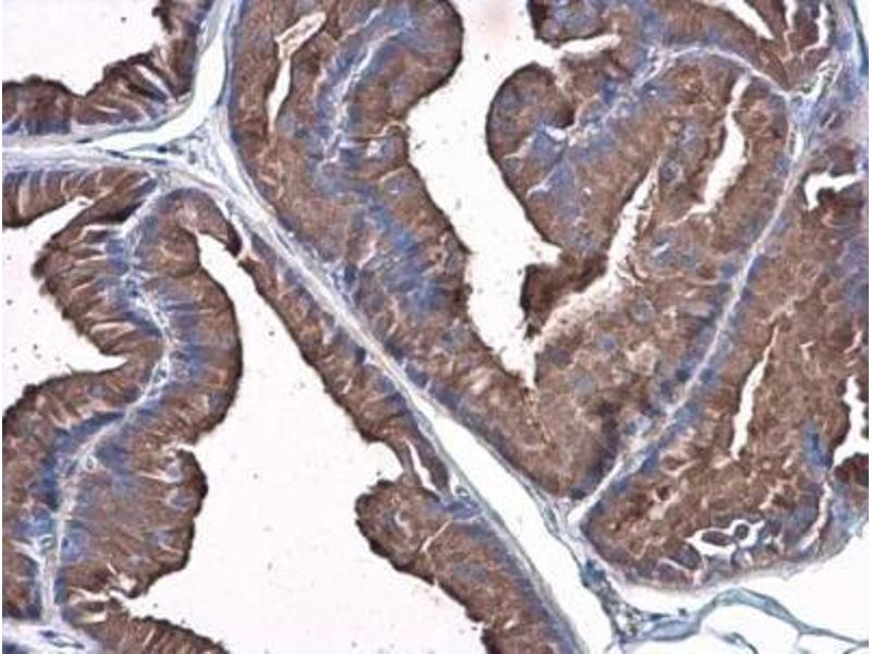 Immunohistochemistry (Paraffin-embedded Sections) (IHC (p)) image for anti-PLG antibody (Plasminogen) (Center) (ABIN4346087)