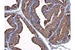 Immunohistochemistry (Paraffin-embedded Sections) (IHC (p)) image for anti-Plasminogen (PLG) (Center) antibody (ABIN4346087)