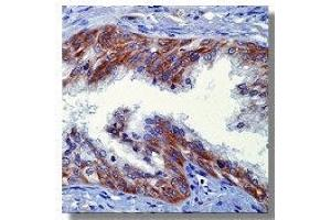 Immunohistochemistry (IHC) image for anti-Neuregulin 1 antibody (NRG1) (Extracellular Domain) (ABIN264425)
