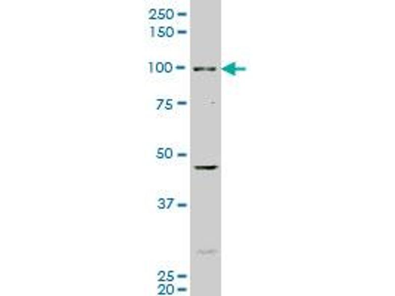 Western Blotting (WB) image for anti-Aryl Hydrocarbon Receptor (AHR) (AA 721-820) antibody (ABIN513203)