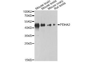 Image no. 1 for anti-Pyruvate Dehydrogenase (Lipoamide) alpha 2 (PDHa2) antibody (ABIN6568249)