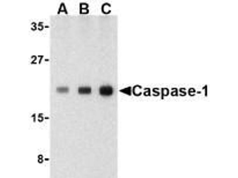 Western Blotting (WB) image for anti-Caspase 1 antibody (CASP1) (C-Term) (ABIN499541)