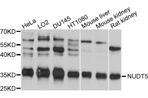 Image no. 2 for anti-Nudix (Nucleoside Diphosphate Linked Moiety X)-Type Motif 5 (NUDT5) antibody (ABIN4904593)