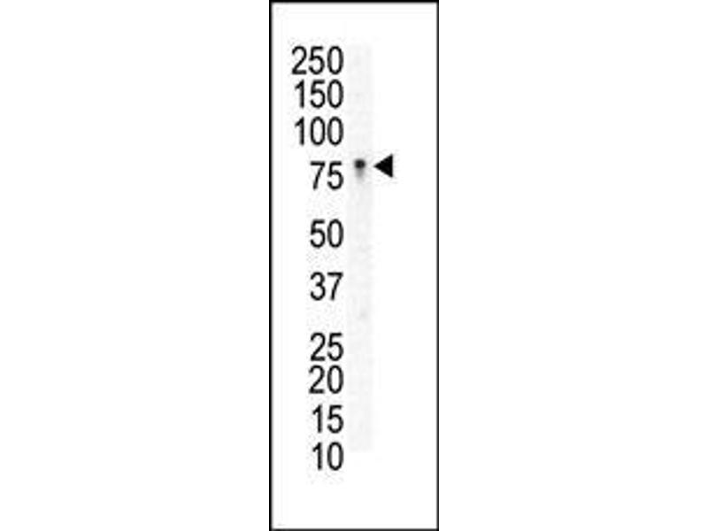Western Blotting (WB) image for anti-EPH Receptor B3 antibody (EPHB3) (AA 29-59) (ABIN391922)