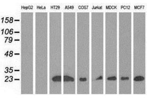 Western Blotting (WB) image for anti-Ras-Like Without CAAX 2 (RIT2) antibody (ABIN4350619)