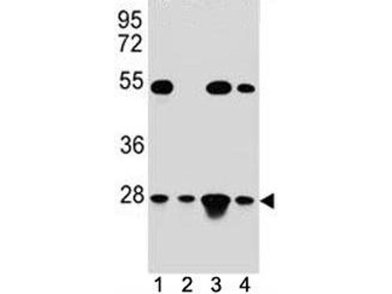 Western Blotting (WB) image for anti-Transcription Factor A, Mitochondrial (TFAM) (AA 216-246) antibody (ABIN3029196)