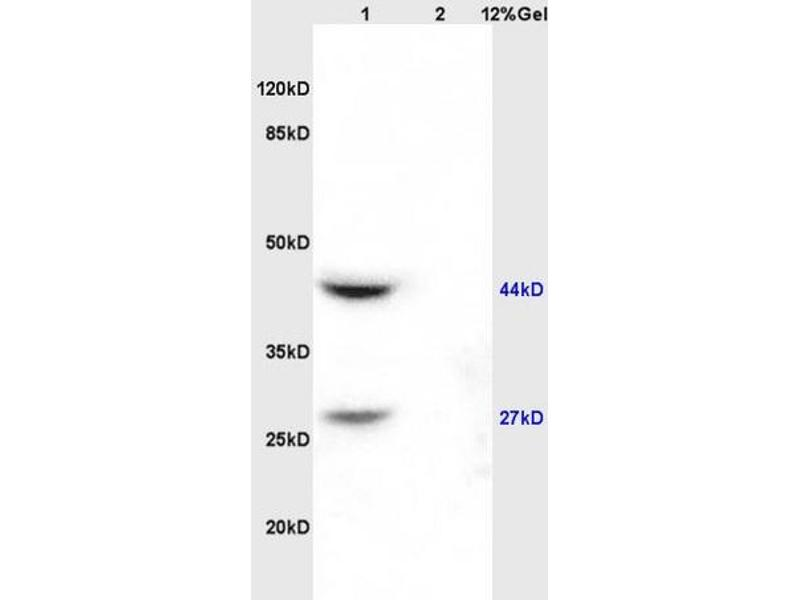 SDS-PAGE (SDS) image for anti-DIABLO antibody (Second Mitochondria-Derived Activator of Caspase) (AA 177-211) (ABIN674619)