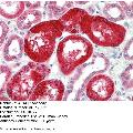 anti-SOX17 antibody (SRY (Sex Determining Region Y)-Box 17) (Middle Region)