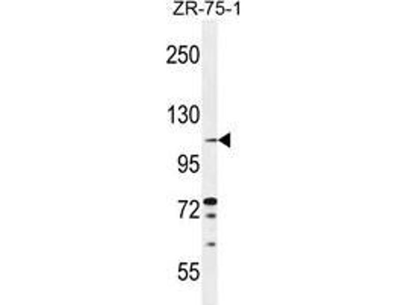 Western Blotting (WB) image for anti-Tolloid-Like 2 (TLL2) (AA 305-336), (Middle Region) antibody (ABIN955234)