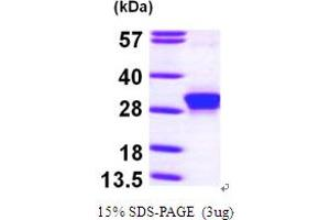 Image no. 1 for rho Family GTPase 3 (RND3) (AA 1-241) protein (His tag) (ABIN667167)