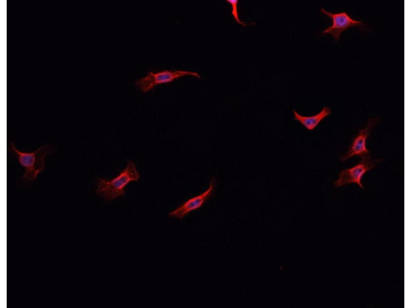 Immunofluorescence (fixed cells) (IF/ICC) image for anti-NADPH Oxidase 1 (NOX1) antibody (ABIN6263693)