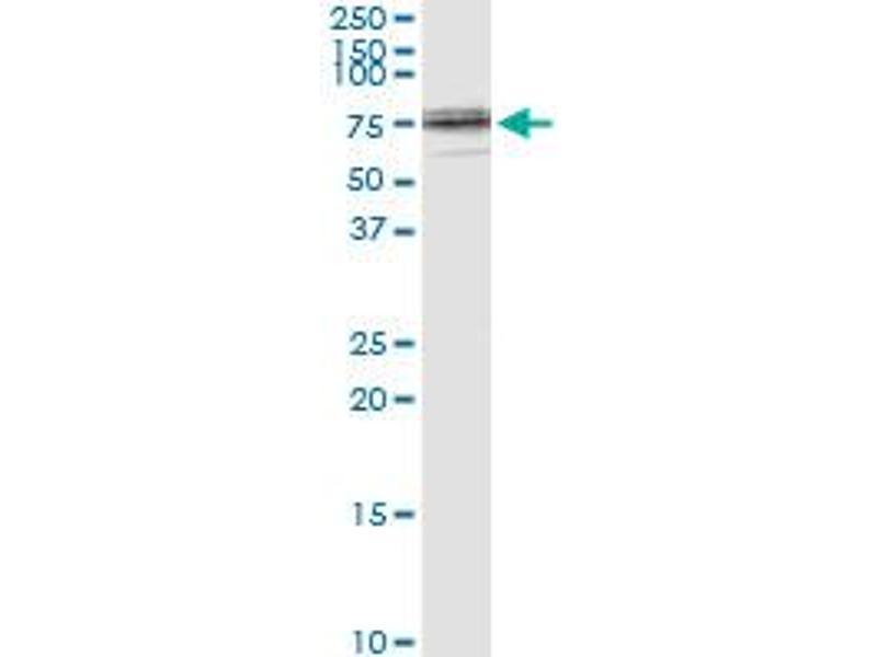 Immunoprecipitation (IP) image for anti-Lamin B1 (LMNB1) (AA 107-186), (partial) antibody (ABIN517542)