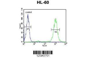 Image no. 2 for anti-Bloom Syndrome RecQ Like Helicase (BLM) (AA 1054-1082), (C-Term) antibody (ABIN651053)