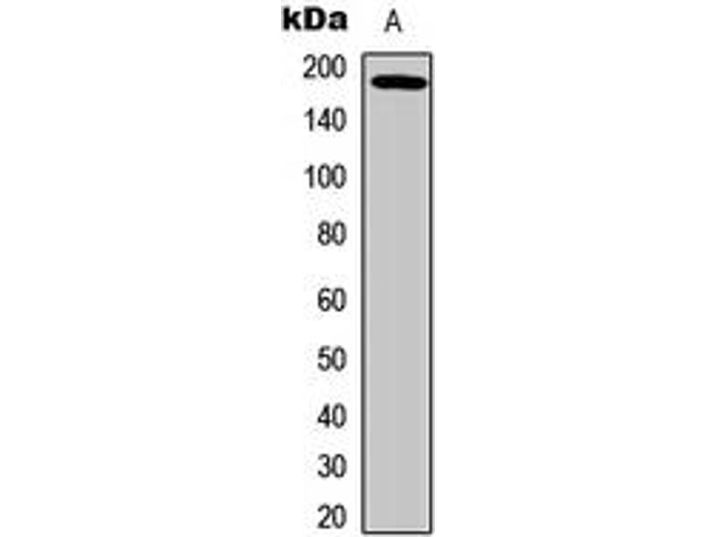 Western Blotting (WB) image for anti-Epidermal Growth Factor Receptor (EGFR) (pSer693) antibody (ABIN2706075)