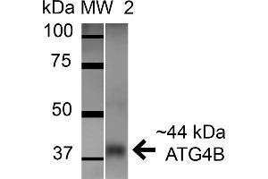 Image no. 2 for anti-Autophagy related 4B Cysteine Peptidase (ATG4B) (AA 94-106) antibody (FITC) (ABIN5066023)