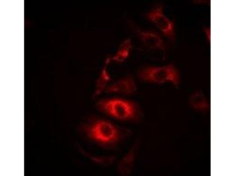 Immunofluorescence (IF) image for anti-IL21 antibody (Interleukin 21) (ABIN3198158)