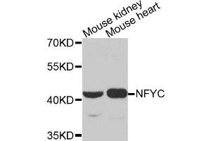 Image no. 1 for anti-Nuclear Transcription Factor Y, gamma (NFYC) antibody (ABIN6572035)