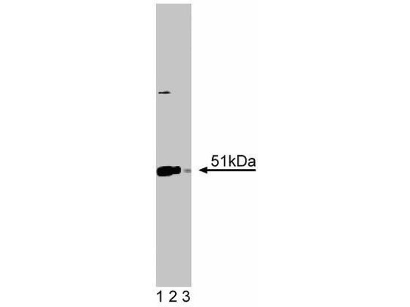 Western Blotting (WB) image for anti-Annexin VII antibody (Annexin A7) (AA 34-159) (ABIN968100)